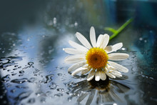 A Daisy Flower Close-up On A Mirror Surface With Water Droplets On A Dark Background.