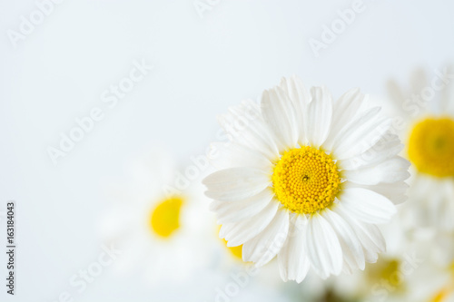 Foto op Canvas Madeliefjes Chamomile or daisy flowers on white background.