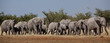 Elephant herd moving