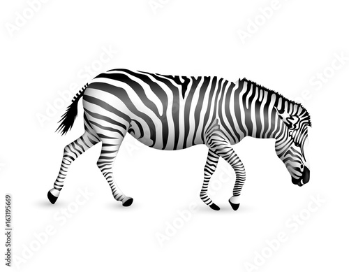 Wall Murals Zebra Zebra walking and bend down. Wild animal texture. Striped black and white. Illustration isolated on white background.