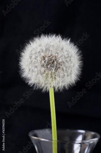 Fotografie, Obraz  Closeup of dandelion in clear vase on black background