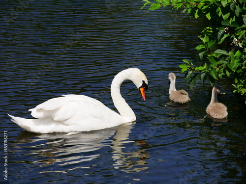 Poster Cygne Swan and her cygnets
