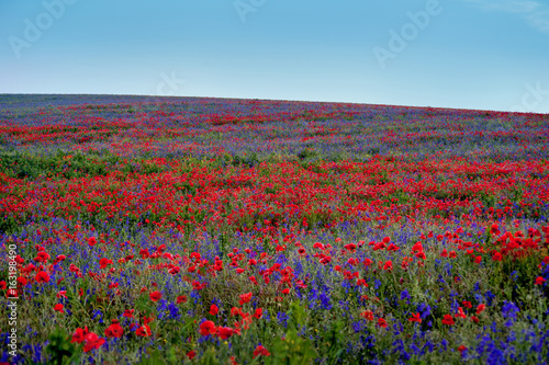 big colorful field poppies and bells flowers