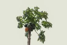 Papaya Tree On A White Background