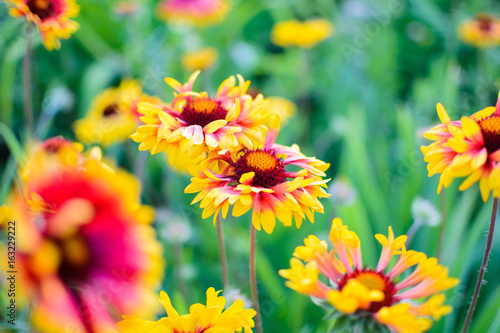 Poster Dahlia Flowers echinacea in a flower garden on a sunny day