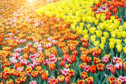 beautiful-tulip-flower-and-green-leaf-background-in-the-garden-at-sunny-summer-or-spring-day