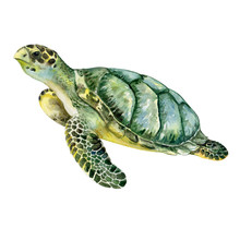 Sea Green Turtle Isolated On W...