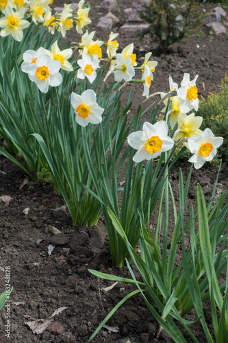 Foto op Canvas Tuin Diagonal row of white narcissuses in spring