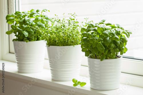 fresh basi and thymel herb in pot