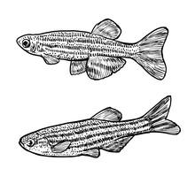 Zebrafish Illustration, Drawin...