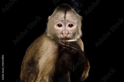 Vászonkép Smoking Capuchin Monkey on Isolated Black Background