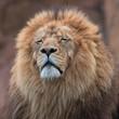 Big lion, head, mane