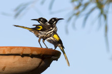 Two New Holland Honeyeater Bir...