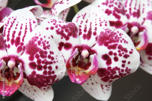 Storczyk, orchidea, orchid, orchis - 163270074