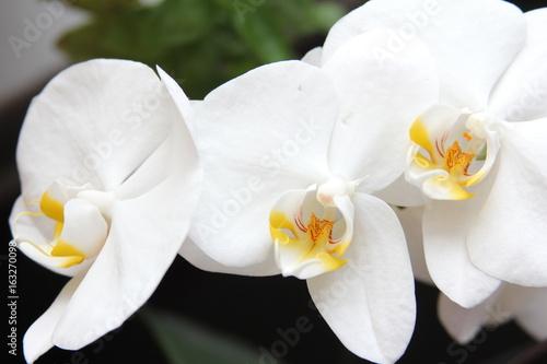 Naklejka premium Storczyk, orchidea, orchid, orchis