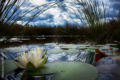 Poster de jardin Nénuphars White Nymphaea alba, commonly called water lily or water lily 4