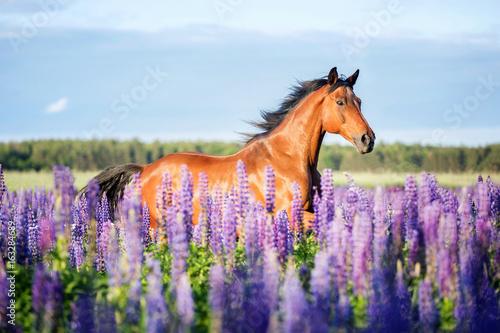 Foto op Canvas Paarden Arabian horse running among lupine flowers.