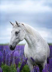 FototapetaPortait of an Arabian horse among lupine flowers.