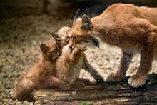 Carpathian Lynx Playing