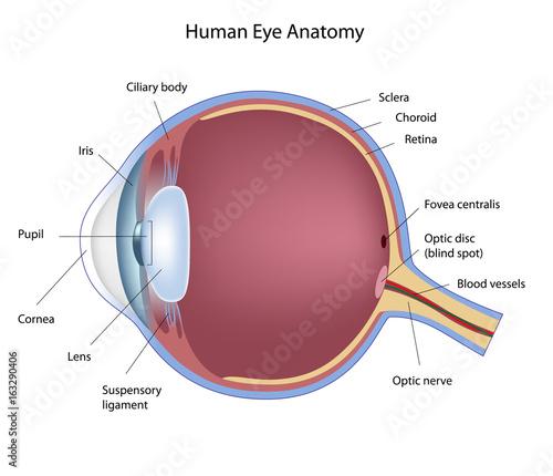 Human Eye - Labeled