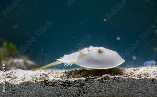 Horseshoe crab in aquarium