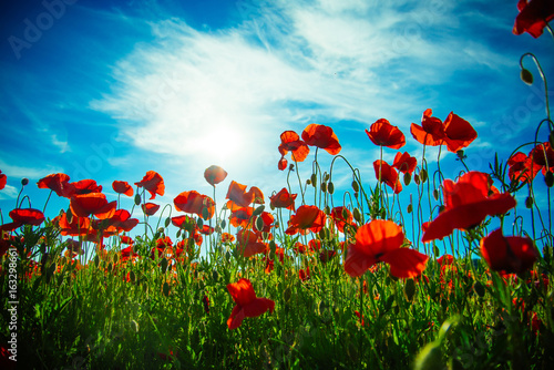 flower field of red poppy seed on blue sky