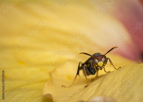 Recess Fitting Macro photography Wasp on a flower watching to the camera