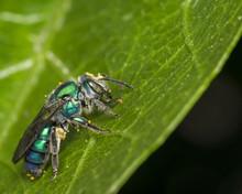 Cuckoo Wasp On A Leaf
