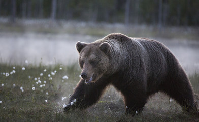 Fototapeta na wymiar wild brown bear