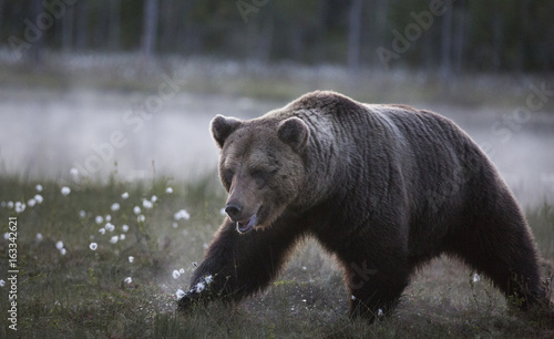 Obrazy na płótnie Canvas wild brown bear