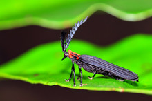 Some Sort Of Net-winged Beetle...