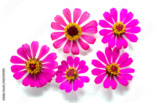 Poster de jardin Dahlia Flowers group on white background, Pink and yellow flowers on backdrop
