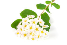Flowers Of Spirea Aguta Or Brides Wreath Isolated On White Background Close-up