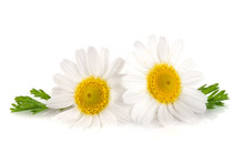 Two Chamomile Or Daisies With ...
