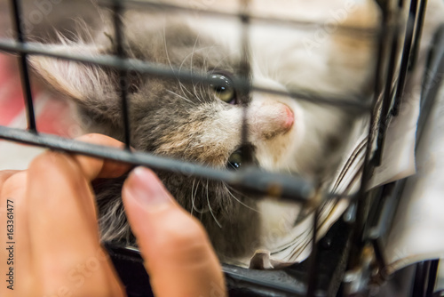 Fotografie, Obraz  Portrait of one grey and white calico kitten playing in cage waiting for adoptio