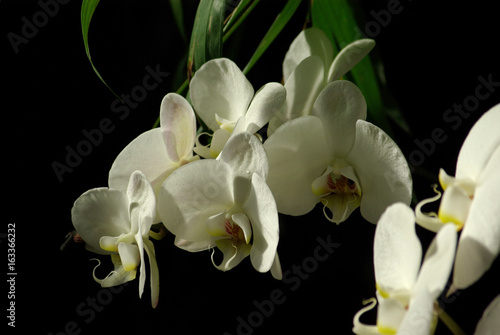Papiers peints Narcisse Orchidée blanche