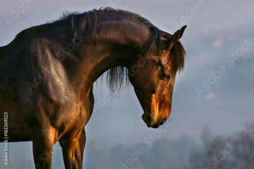 Fotografia  Bay horse with long mane portrait outdoor in sunrise fog