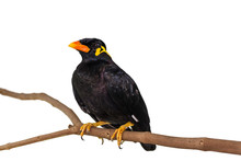 Common Hill Myna (Gracula Reli...