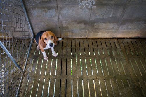 Fotografie, Obraz  Sad Beagle dog sits locked in a cage