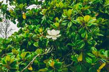 Flowering Magnolia. White Flower.