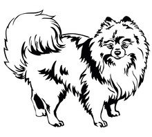 Decorative Standing Portrait Of Dog Pomeranian (Spitz) Vector Illustration