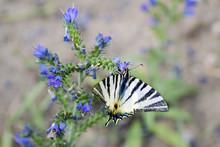 Detailní Pohled Na Motýla - Iphiclides Podalirius Na Květu Symphytum Officinale