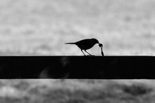 Silhouette Of A Robin Eating A...