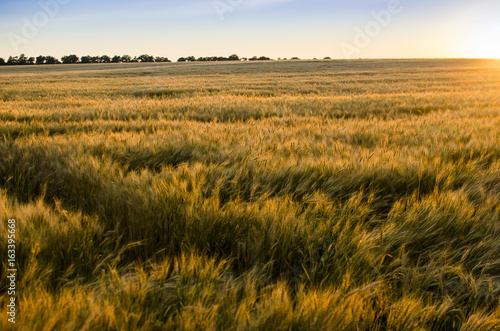 Foto auf Gartenposter Landschappen Ears of wheat in the field. backdrop of ripening ears of yellow wheat field on the sunset cloudy orange sky background. Copy space of the setting sun rays on horizon in rural meadow
