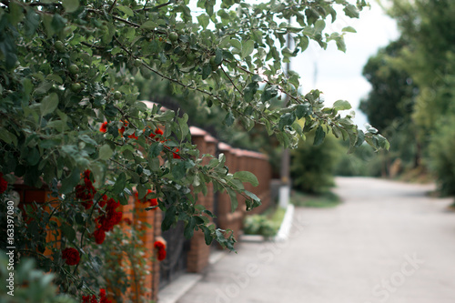 Blossoming red roses near a brick fence.