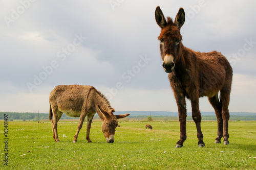 Two donkeys on the meadow