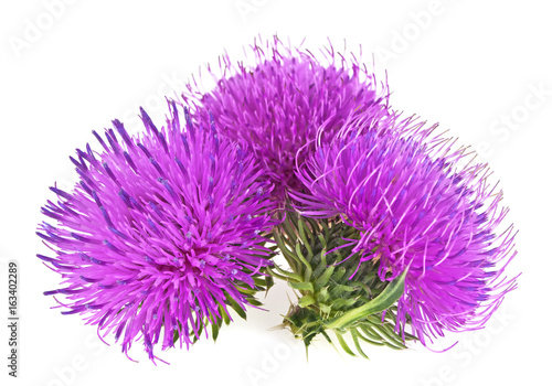 Stampa su Tela Milk thistle (Silybum) flowers isolated on a white background