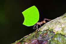 Leafcutter Ant (Atta Cephalote...