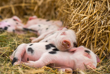 Oxford Sandy And Black Piglets Sleeping. Four Day Old Domestic Pigs Outdoors, With Black Spots On Pink Skin