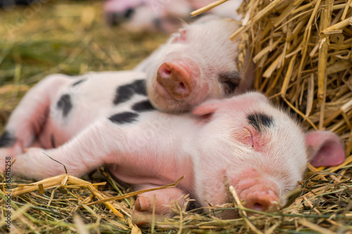 Photo Oxford Sandy and Black piglets sleeping together